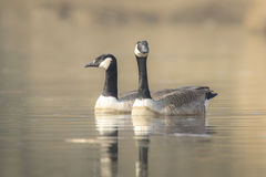 Canadian geese Branta Canadensis Royalty Free Stock Photo