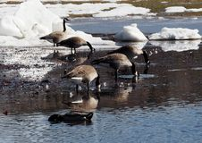 Canada Goose Or Branta Canadensis. Canadian geese Or Branta canadensis feeding in pond in early spring royalty free stock image