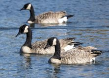 Canadian Geese Or Branta Canadensis In Flight In Early Autumn. For southern destinations royalty free stock photos