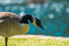 Canadian Geese Branta canadensis on grass. Close to lake, looks for food royalty free stock photos