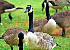 Canadian Geese. At Lake Hefner in OK City Stock Photos