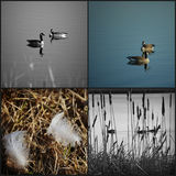 Canadian Geese Collage Stock Image