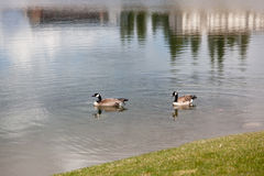 Canadian Geese Couple Royalty Free Stock Image