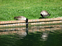 Canadian Geese Drinking. Water from a lake Royalty Free Stock Photography