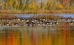 Canadian Geese Ducks Autumn Colors Reflections. Canadian geese and ducks enjoy an autumn swim on Mud Lake, near Sussex, Kings County, New Brunswick, Canada Royalty Free Stock Photography