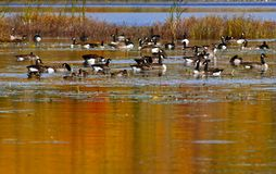 Canadian Geese Ducks Autumn Pond. Canadian geese and ducks enjoy an autumn swim on Mud Lake, near Sussex, Kings County, New Brunswick, Canada Royalty Free Stock Photo