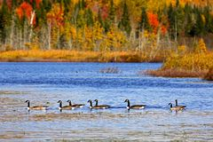 Eight Canadian Geese Autumn Colors Pond. Canadian geese and ducks enjoy an autumn swim on Mud Lake, near Sussex, Kings County, New Brunswick, Canada Royalty Free Stock Photo