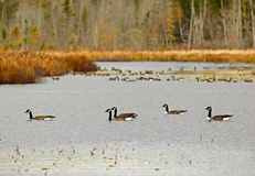 Five Canadian Geese Foreground. Canadian geese and ducks enjoy an autumn swim on Mud Lake, near Sussex, Kings County, New Brunswick, Canada Stock Image