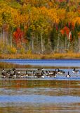 Geese Ducks Autumn Trees Lake. Canadian geese and ducks enjoy an autumn swim on Mud Lake, near Sussex, Kings County, New Brunswick, Canada Stock Photo