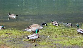 Canadian Geese and ducks. A flock of geese picking and eating at the grass, summer time in BC. Enjoying the sunny weather. Beautiful large birds. Mallard ducks Royalty Free Stock Images