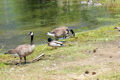 Canadian Geese and ducks. A flock of geese picking and eating at the grass, summer time in BC. Enjoying the sunny weather. Beautiful large birds. Mallard ducks Stock Image