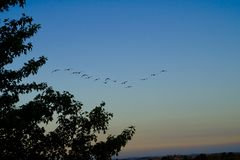 Canadian geese on a early morning flight stock photography