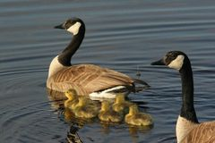 Canadian Geese Family. A family of geese taking a swim royalty free stock photo