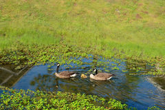 Canadian geese family with baby ducklings swimming in a stream Stock Images