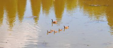 Canadian Geese family with goslings swimming on a lake. Canadian geese family with baby geese swimming together on a lake, creating a nice ripple effect on the Royalty Free Stock Images