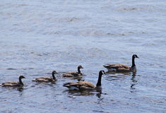 Canadian Geese family Stock Photo