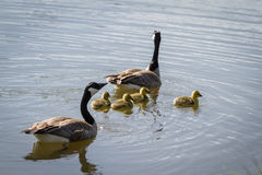 Canadian geese family Royalty Free Stock Photos