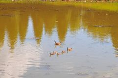 Canadian Geese family with goslings swimming on a lake. Canadian geese family with baby geese swimming together on a lake, creating a nice ripple effect on the Royalty Free Stock Image