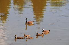 Canadian Geese family with goslings swimming on a lake. Canadian geese family with baby geese swimming together on a lake, creating a nice ripple effect on the Stock Photos