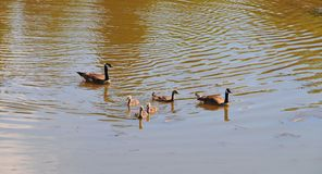 Canadian Geese family with goslings swimming on a lake. Canadian geese family with baby geese swimming together on a lake, creating a nice ripple effect on the Royalty Free Stock Photos