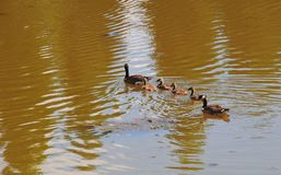 Canadian Geese family with goslings swimming on a lake. Canadian geese family with baby geese swimming together on a lake, creating a nice ripple effect on the Royalty Free Stock Photography
