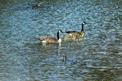 Canadian geese family swimming Royalty Free Stock Images