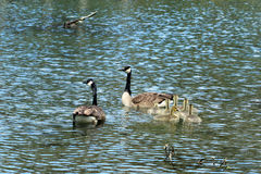 Canadian geese family swimming Stock Image