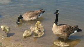 Canadian geese family wading in a lake Royalty Free Stock Photos