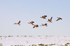 Canadian Geese in flight Stock Photography