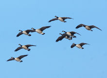 Canadian Geese In Flight Royalty Free Stock Image