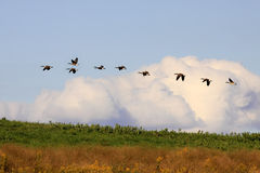 Canadian Geese in Flight Royalty Free Stock Photo