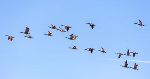 Canadian Geese in Flight. Migrating Canada Geese live in a great many habitats near water, grassy fields, and grain fields. They often fly in a `V` formation for Stock Image