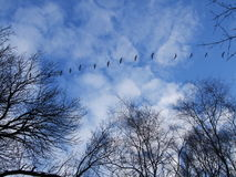 Canadian Geese in Flight. Pattern Royalty Free Stock Photography