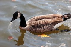 Canadian geese Royalty Free Stock Photography