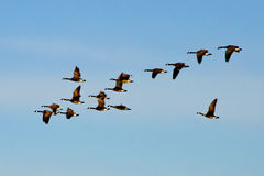 Canadian Geese Flock Flying Stock Photo