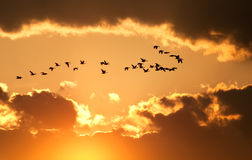 Canadian Geese Fly at Sunset. A flock of migratory Canadian Geese flying at sunset Stock Images
