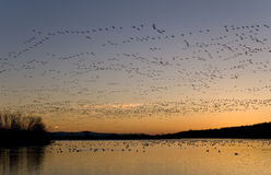 Canadian geese flying. Large flock of Canadian Geese flying at sunrise Stock Photos
