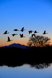 Canadian Geese Flying Stock Image