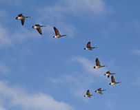 Canadian Geese Flying. In a Vee formation against blue sky with light clouds stock photography