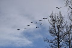 Multiple Canadian Geese Flying in Formation. Canadian Geese Flying in Formation Royalty Free Stock Image