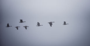 Canadian Geese flying in heavy fog. Royalty Free Stock Photography