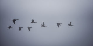 Canadian Geese flying in heavy fog. Royalty Free Stock Image