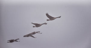 Canadian Geese flying in heavy fog. Royalty Free Stock Images