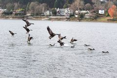 Canadian Geese Flying near River Stock Images