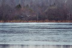 Canadian Geese Flying over Frozen Lake Surface in Winter.  Stock Photography