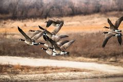 Canadian Geese Flying Over A Pond In Decorah Iowa stock image