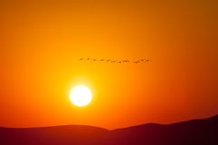Canadian Geese Flying into the Sunrise Stock Images