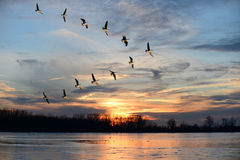 Canadian Geese Flying in V Formation. Group of Canadian geese flying in V formation over frozen lake stock images