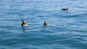 Canadian geese are free to swim in the clear lake water stock video