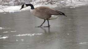 Canadian geese on frozen lake stock video footage